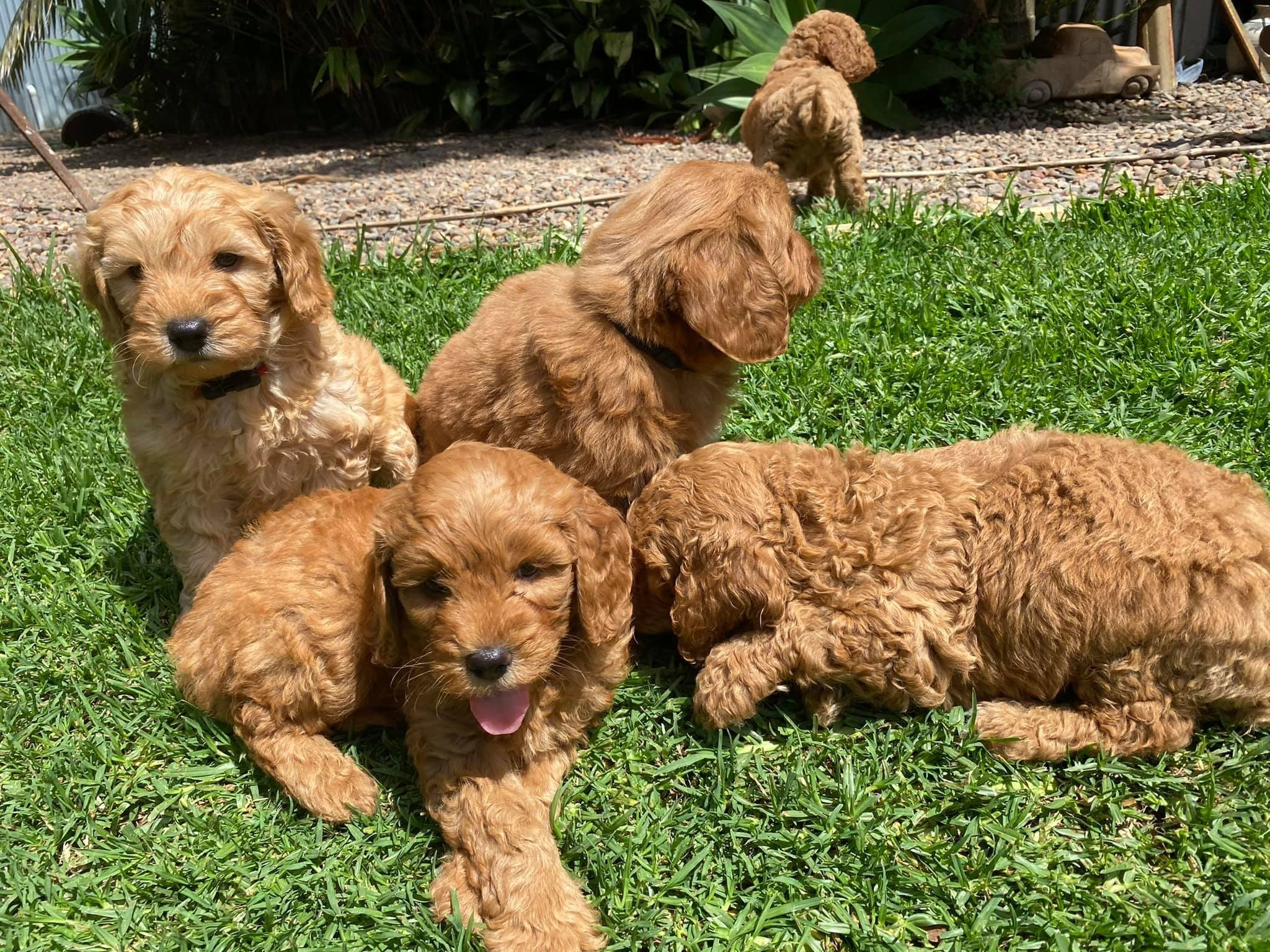 For Selling Cavoodle Puppies Miniature Groodles
